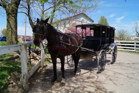 amish buggy: Amish horse and buggy in spring