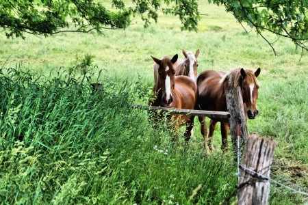 Draft horses standing in pasture looking at you  photo