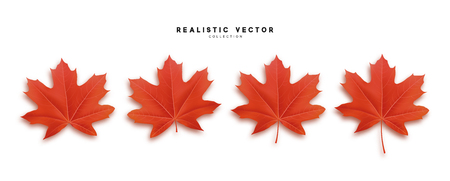 Set of autumn maple leaves, isolated on white background. Fall Foliage realistic design.