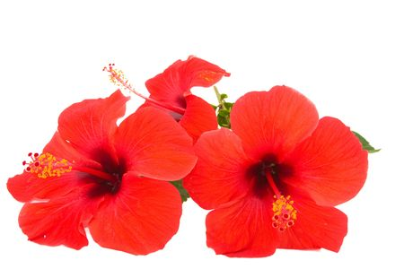 Red hibiscus isolated on white background Stock Photo - 6029978