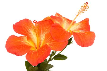isoleted: Orange hibiscus isoleted on white