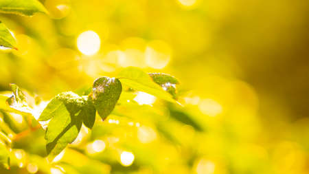 Yellowing leaves on a blurred background. Yellow-green autumn leaves with dew drops. Morning sun in the forest. Copy space 版權商用圖片