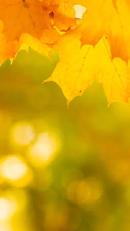 Autumn background with maple leaves. Autumn orange leaves over blurred background. Copy space