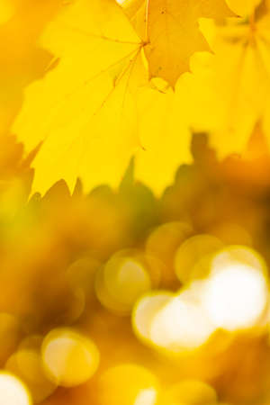 Maple leaves on a blurred background. Autumn background with yellow maple leaves Foto de archivo