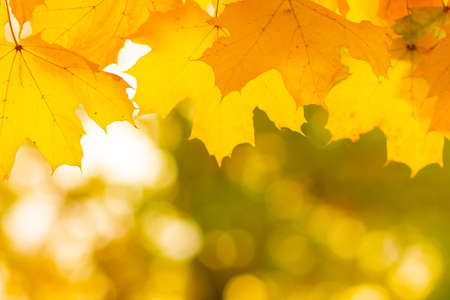 Autumn background with maple leaves. Yellow maple leaves on a blurred background. Copy space