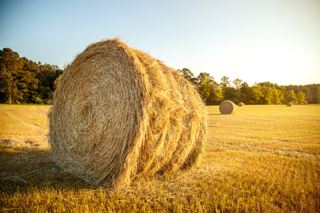 hayrick: Stacks of straw - bales of hay, rolled into stacks left after harvesting of wheat ears, agricultural farm field with gathered crops rural.