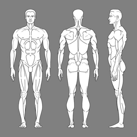 Body silhouette of a man with muscles in front, side and back. The muscular body of a person. Vector linear illustration.
