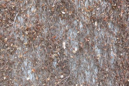 hojas secas: pared de cemento con hojas secas Foto de archivo