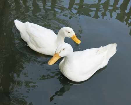 Romantic white ducks couple photo