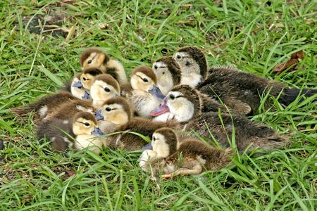mixed age: mixed age group of ducklings