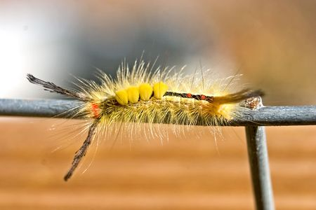 hardwoods: white-marked tussock moth caterpillar on wire fence Stock Photo