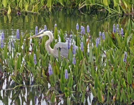 pickerel: great blue heron wading in pickerel weed Stock Photo