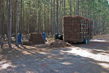 pinestraw baling area for landscape quailty pine straw muclh Stock fotó