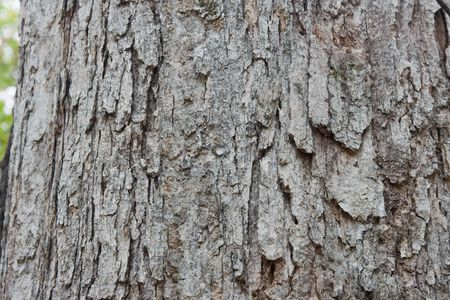 background texture of a trunk of a white oak