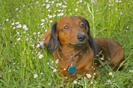 red and black long haired dachshund sitting among the pink wildflowers photo