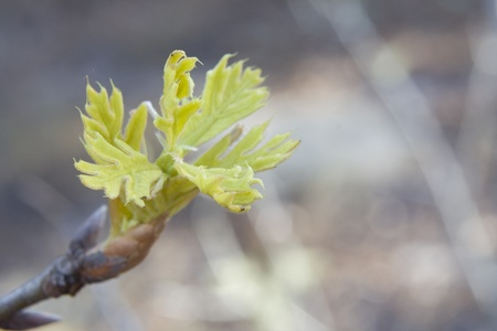 laevis: tiny, young turkey oak leaves at spring burst of Quercus laevis