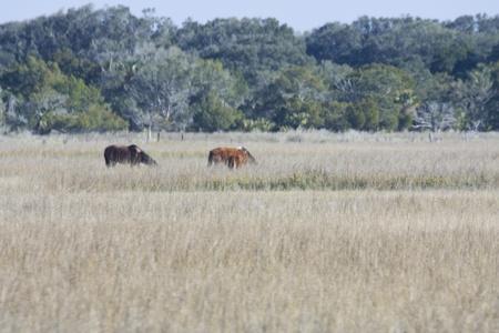 wild horses on salt marsh photo