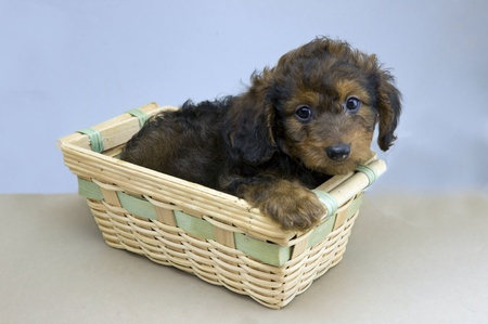 young Dachshund puppy photo