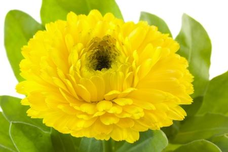 yellow calendula closeup