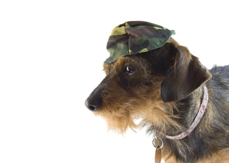 mixed dachshund army hat
