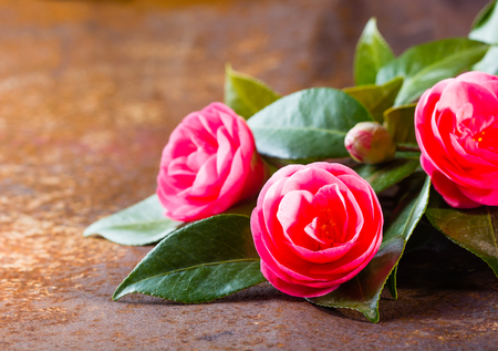 free space: Pink japanese camellia flowers with leaves on rustic background. Closeup, copy space Background with free space for text. Selective focus