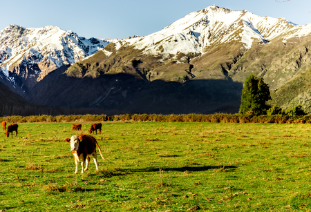 Argentine Chilean Patagonian landscape with freely grazing cows near a river. Group of cows in sunset. Archivio Fotografico