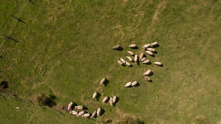 Aerial view of flock of sheep. Aerial landscape.