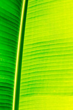 Green botany background. Banana palm tree leave. Stock fotó