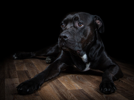 lowkey: Black dog lying