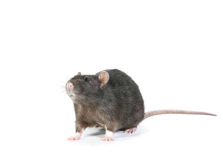 dinky: Black rat looks right