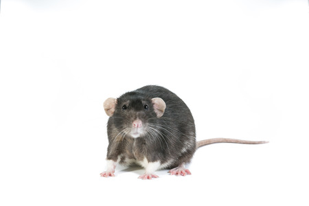 into: A black rat looking into the camera Stock Photo