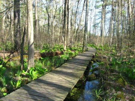 boardwalk trail: Swamp in the spring   Boardwalk trail through Michigan s Yankee Springs state recreation area