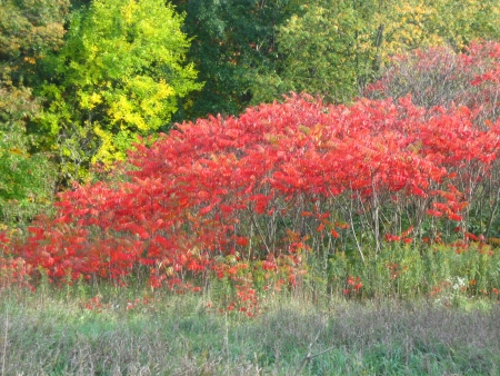staghorn: Red staghorn sumac