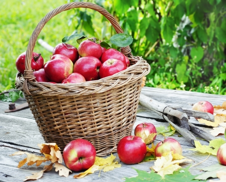 a great day for harvesting apples photo