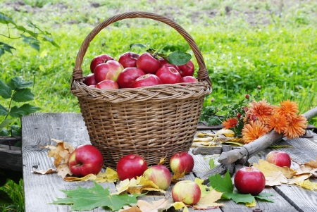 beautiful basket with organic apples  photo