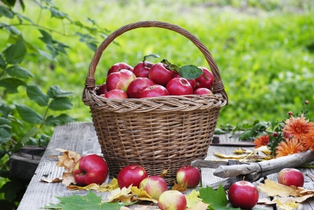 juicy apples in basket in time of autumn photo