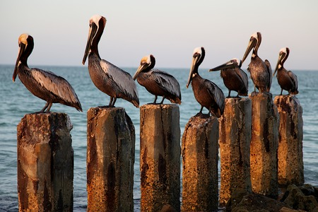 Seven Pelicans on Seven Wood Posts photo