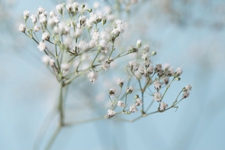 babys: Babys Breath Artistic Baby Blue and White Stock Photo