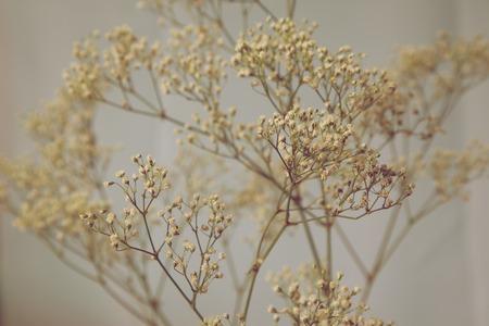 dried flower arrangement: Babys Breath Artistic Creamy Colors Stock Photo