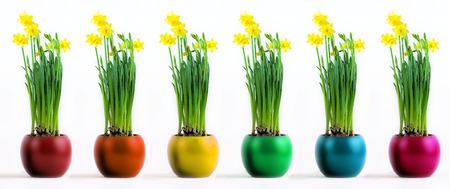 six coloured pots with flourishing yellow daffodils photo