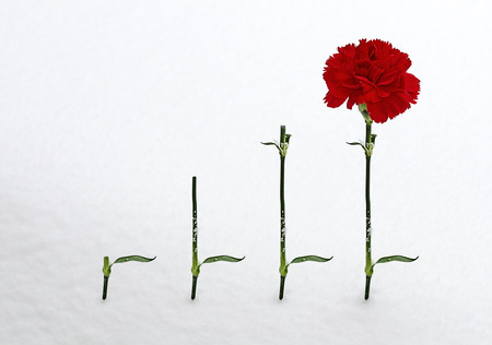 faulty: Red carnation and three stems in the snow