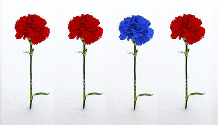 the quartet: three red and one blue carnation  in the snow
