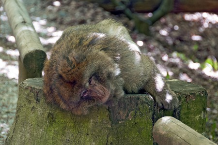 barbary ape: Barbary ape lying in the wood on the stub of a tree, Salem, Germany