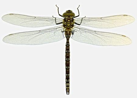 animal vein: dragonfly on light-table