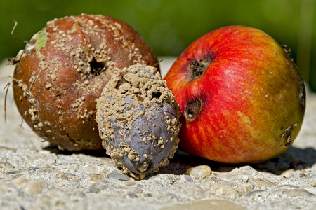 windfalls: two rotten apples and a plum Stock Photo