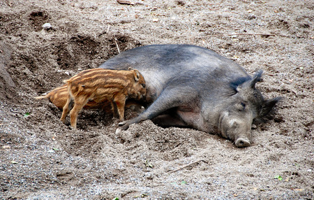 suckle: two piglets suckle at a lying female wild boar Stock Photo