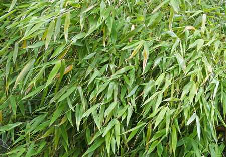 the thicket: dense thicket from  green-leaved bamboo shrubs