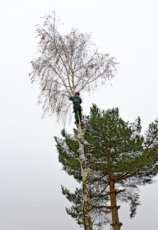 felling: Timber worker climbing on a birch for cutting