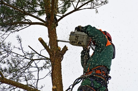 Timber worker climbing on a pine tree for cutting
