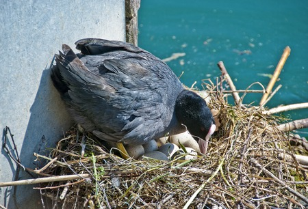 brooding: brooding black coot hen on a nest with eggs Stock Photo